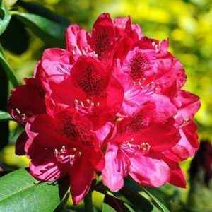 Рододендрон Red Rhododendron Shrub